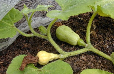 Butternut Squash How To Grow Butternut Squash