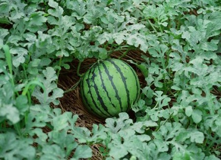 Grow Watermelons How To Grow Watermelons
